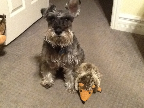 Comfortable home with a shy but wonderful rescue schnauzer and his new little rescue brother