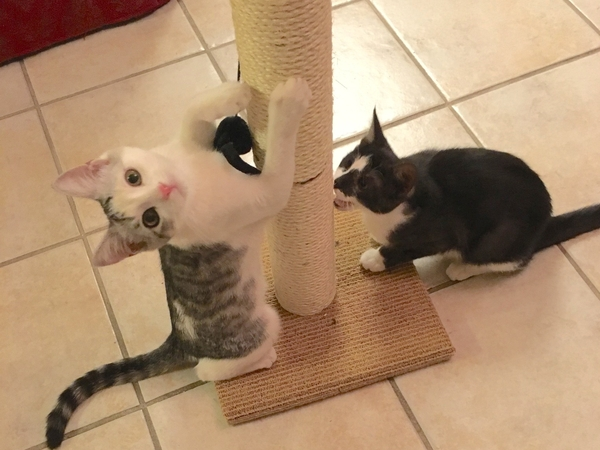 Cat sitter needed for 2+weeks in Austin, Tx