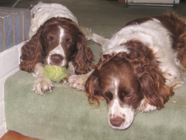 Pet sitter needed for two springer spaniels 3 wks 21.09.12