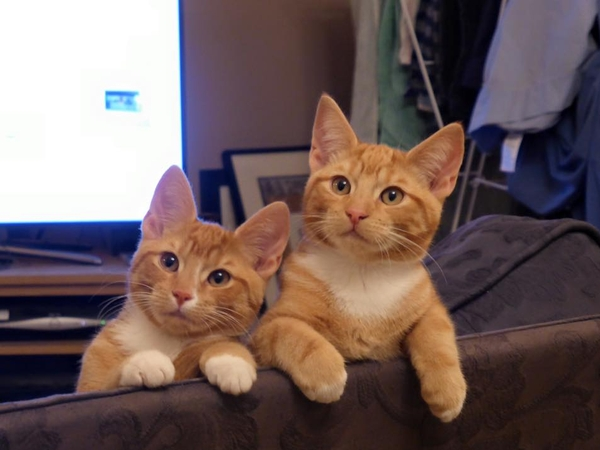 Cat sitter needed for my ginger ninjas for almost 2 weeks during the festive season (Dec 2017)