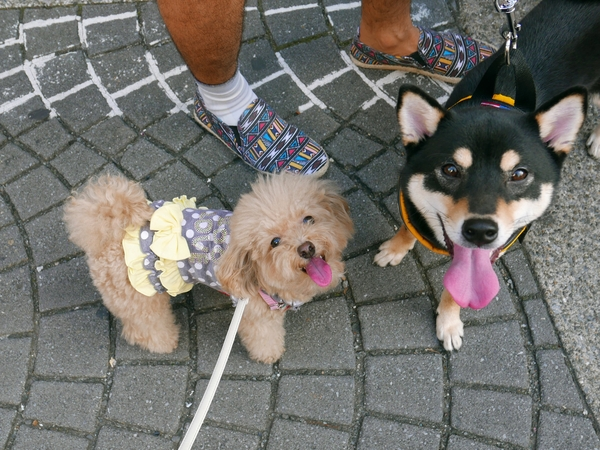 Pet sitter needed for my 3 small dogs in tokyo this summer.