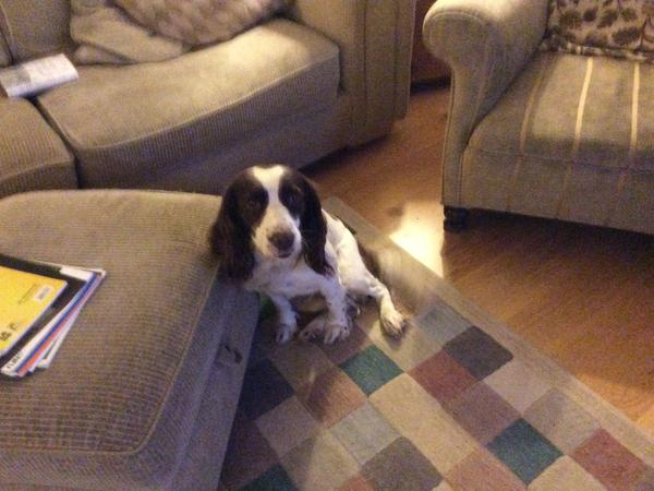 Pet sitter required for  Springer Spaniel