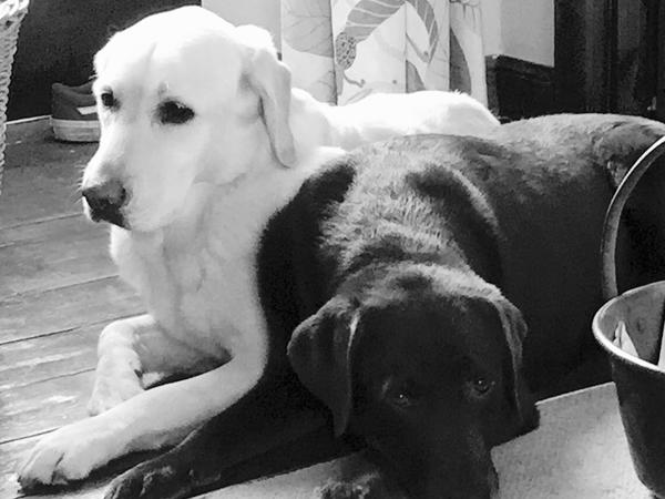 Pet sitter required in Edinburgh for 2 Labradors and. 2 cats