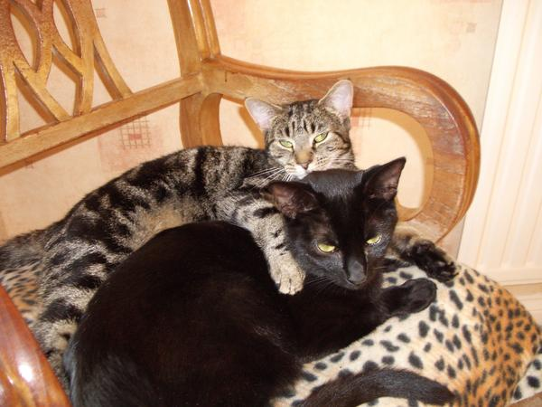 Pet sitter needed for our two 3-year-old cats for the above dates in Hadleigh, Essex
