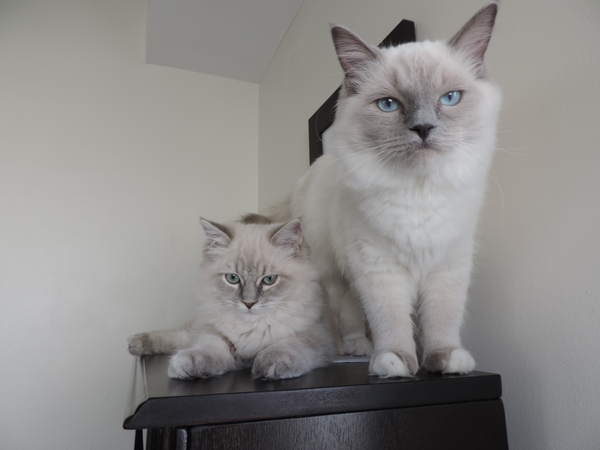 Pet sitter needed for 2 cats for 6 weeks near Washington DC.