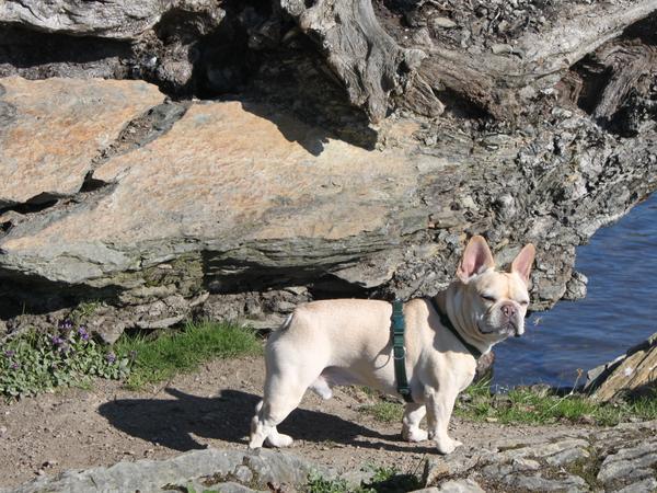 dog sitter for 6 year old Floyd- french bulldog