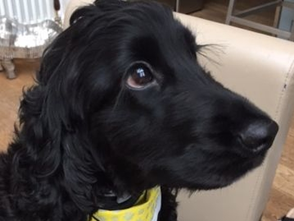 Gorgeous Cocker Spaniel needs a housemate