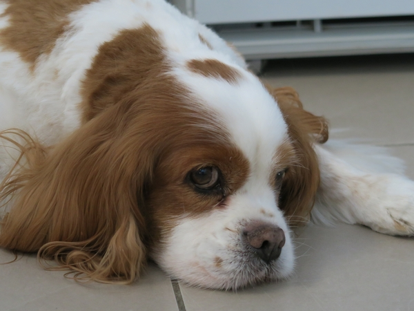 Placid older Cavalier in central location