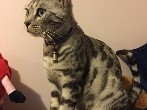 Cat sitter for lovely silver Bengal Pixie