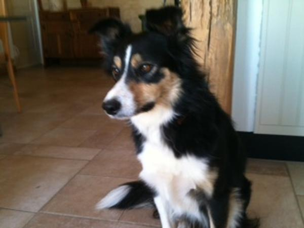 Pet sitter needed for my adorable 7 year old border collie.