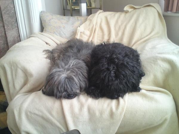 NEW DATES! 2 Tibetan Terriers desperately seeking mom substitute!