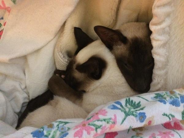 Christmas in lovely rural Cheshire with two loving and adorable Siamese cats.