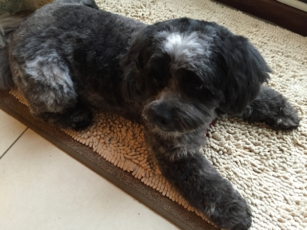 Pet sitter needed for my cockerpoo Monty who is 5 years old for 11 days