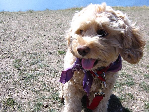 Pet sitter needed for my little dog Cali, a cockapoo in Boulder, CO.