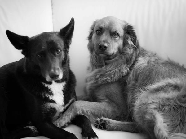 Pet and house sitter needed to spoil two already spoilt dogs for 3.5 weeks!