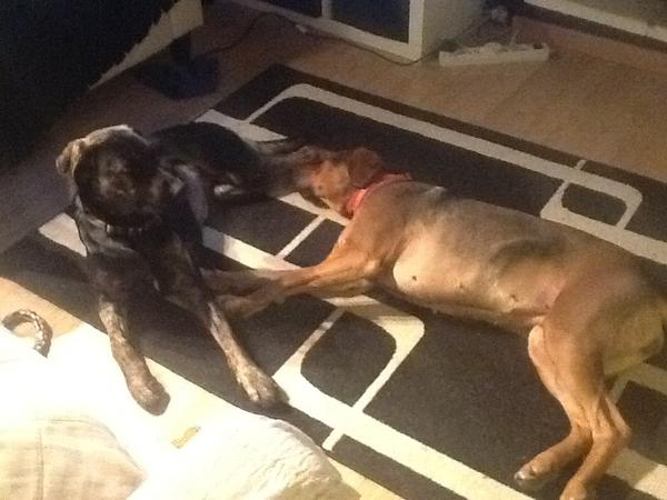 Pet sitting COUPLE needed for 2 dogs in countryside near Pinoso, for end December 2016