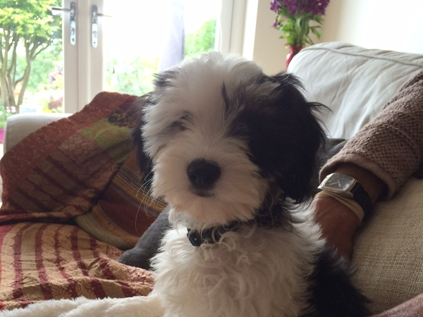 Caring puppy sitter required