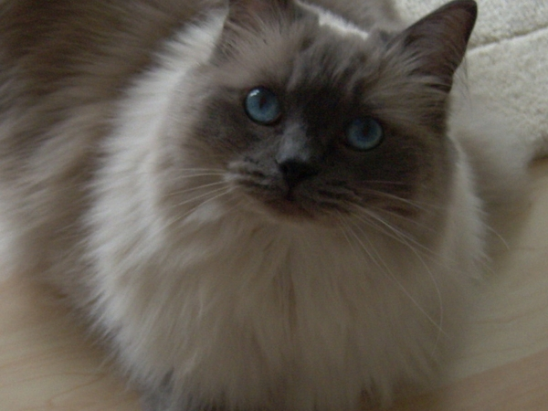 URGENT! Cat sitter needed for indoor ragdoll cat needing medication in Anlaby near Hull