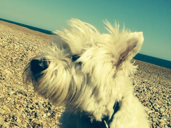 Looking after Bobby a delightful West Highland Terrier.  Shoreham Beach, West Sussex
