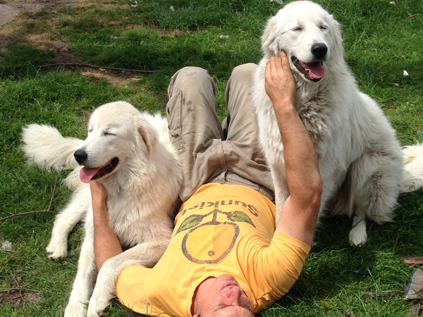 Sitter required for two Maremma dogs and a few chickens for 4 weeks.