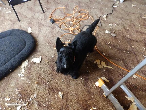 Pet sitter needed for my Scottish Terriers Ewan & Maisie