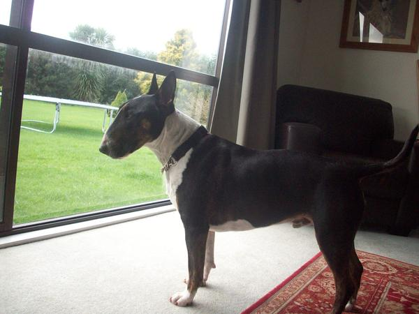 House and pet sitter for 5 year old English Bull Terrier dog