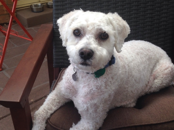 Pet/House Sitter needed for Odie (a Bichapoo) whilst we holiday overseas