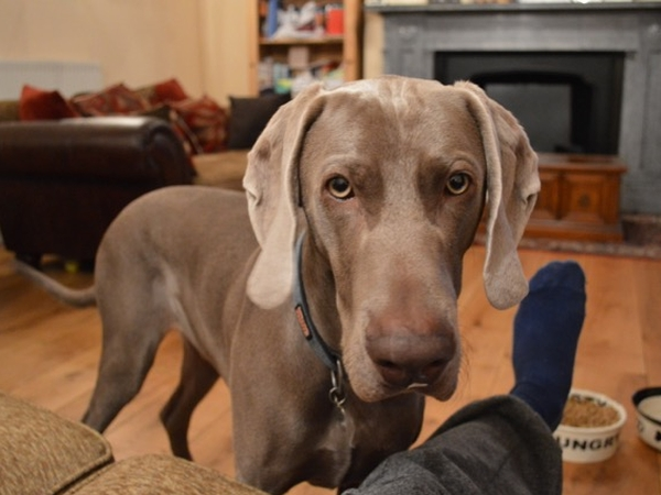 Vacation with a Weimaraner in Chester!
