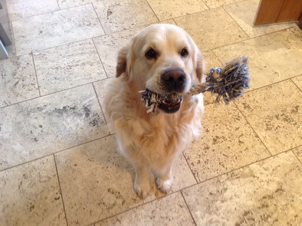 Pet/house sitter wanted for my two golden retrievers, cocker spaniel and cat