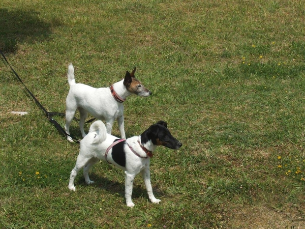 2 Housesits in York looking after 2 fox terriers in August (short) and September (3 weeks)
