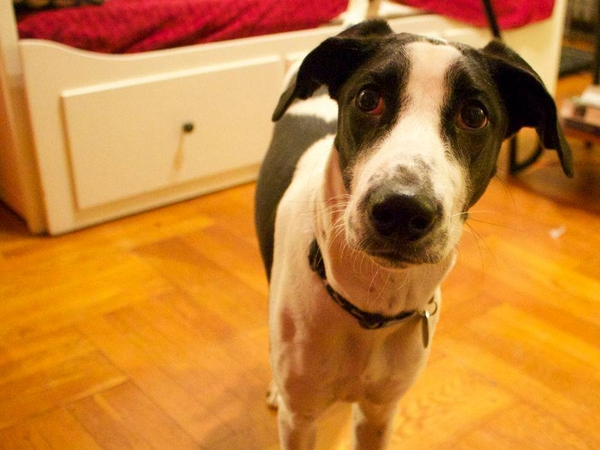 Dog sitter needed, Jackson Heights, Queens, NYC
