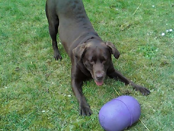 Pet sitter needed for chocolate labrador whilst we are on holiday.