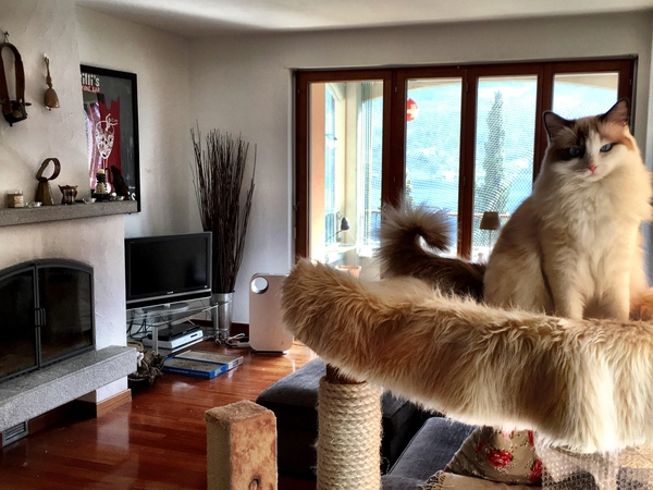 Catsit lovely ragdolls in beautiful Italian Switzerland