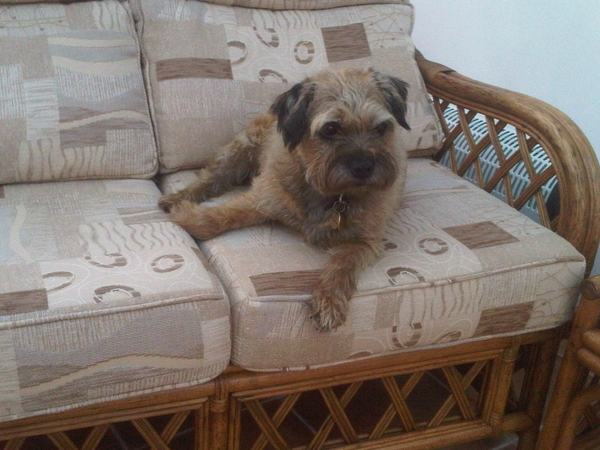 Pet sitter needed for my Border Terrier