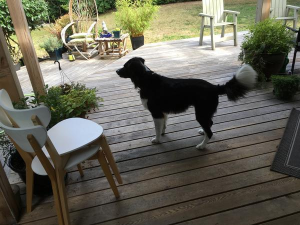 """Beautifull 3Bedroom home with 6 yr. old Border Collie """"Jed"""""""