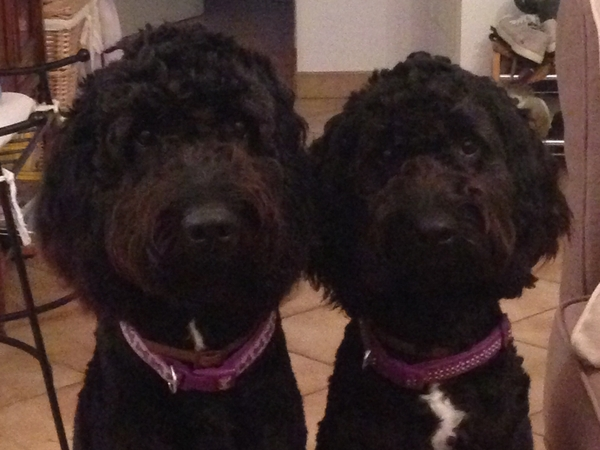 Pet sitter needed for 2 springerdoodles (aged 3 years) for three weeks in Lincolnshire