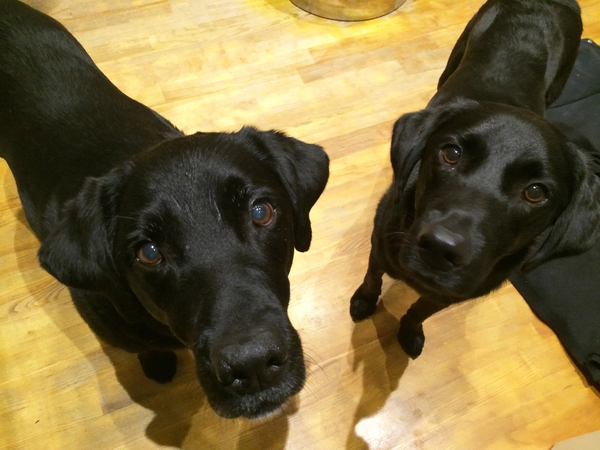 Pet sitter needed for our 2 black labradors in West Yorkshire.