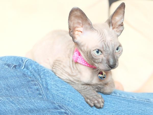 Weekend Sitter needed for Sphynx Kitten in 1 Bed Flat