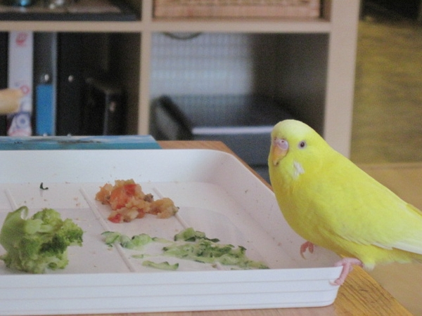 House sitter(s) needed for my budgie in April