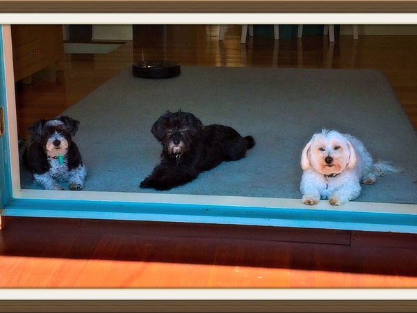 Looking for a sitter for our 3 little dogs in a lovely home in Hampton