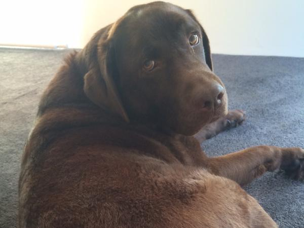 Incredibly loveable Choc Lab and two cats need your loving care while we are away on holidays.