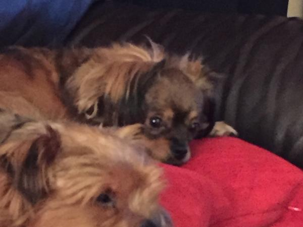 Sitter needed for 2 small dogs