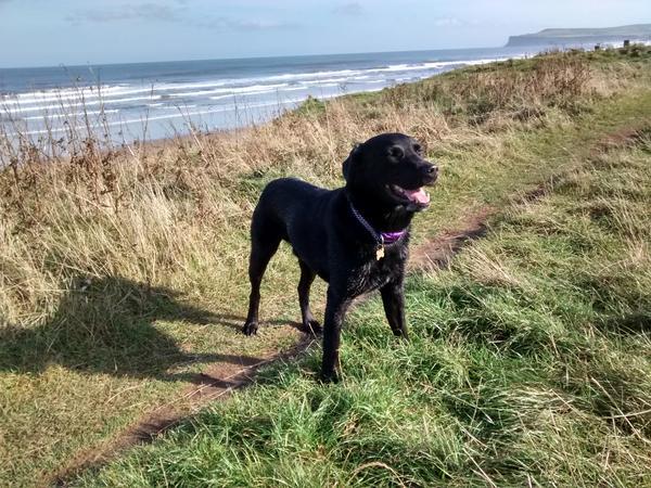 Black Labrador in lovely Spa town