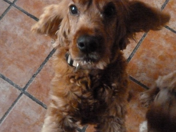 Mallorca  -sitter(s) required for our house and two  cocker spaniels 21/12/2013 to 5/01 /2014