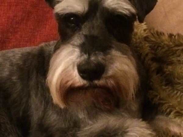 Pet sitter required for lovely miniature schnauzer in August