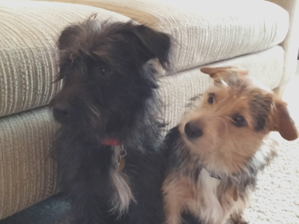 Dog Sitter Needed for our Jackapoo Brothers Sat 29th October & Sun 30th October