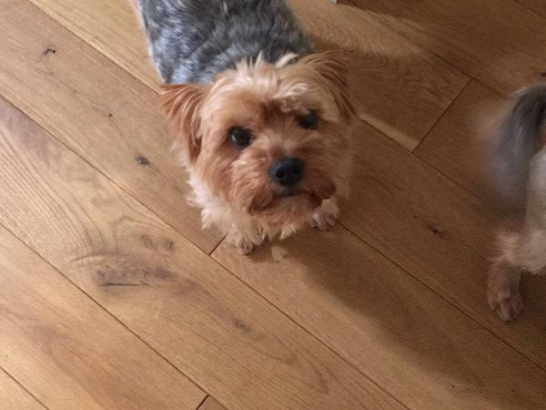 Two Yorkshire Terriers need love and attention