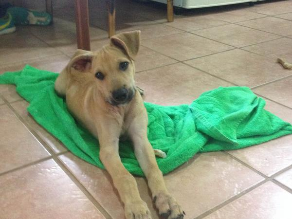 Pet Sitter Needed For Adorable Puppy in Paradise of Costa Rica