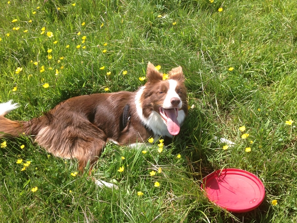 Pet sitter needed for Border Collie in the Cotswolds