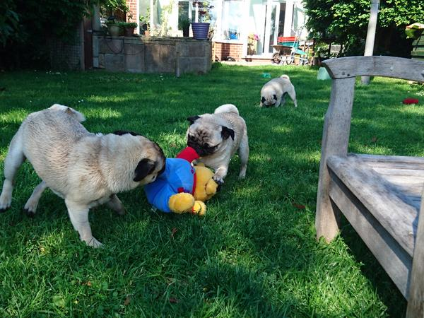 Regular, dog savvy, relaxed home sitter needed for four pugs